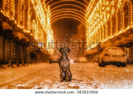 A Rhodesian Ridgeback dog in the night city on a background of colored lights - stock photo