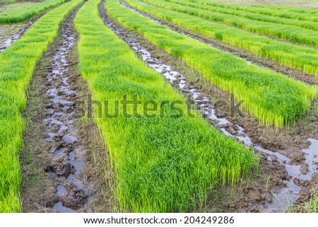 A rice seedlings in Thailand