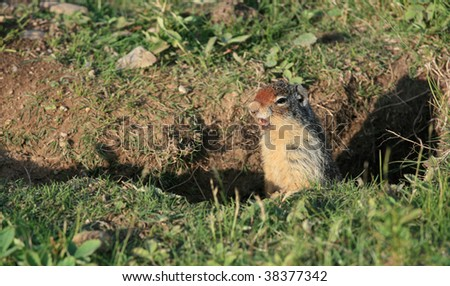 A Richardson's ground squirrel in Alberta, Canada.