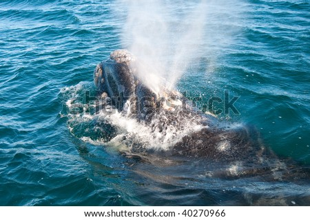 A Right Whale in Peninsula Valdes, Argentina. - stock photo