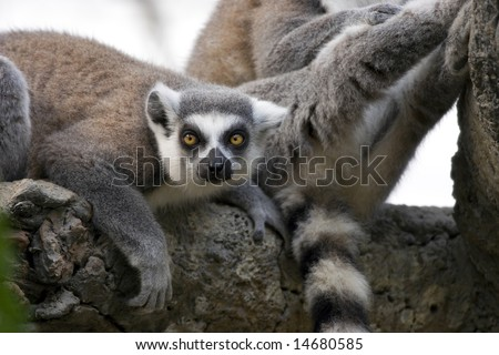 A ring-tailed lemur (Lemur catta) checking you out