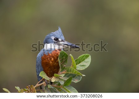 A Ringed Kingfisher (megaceryle torquata,) perched on a branch against a blurred natural background, Pantanal, Brazil - stock photo