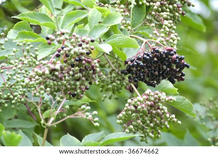 A ripe bunch of elderberries hanging from a tree - stock photo