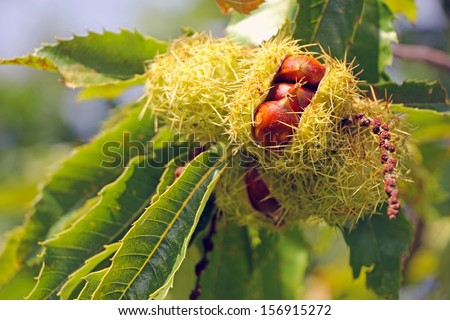 A ripe chestnut on a tree in sunlight - stock photo