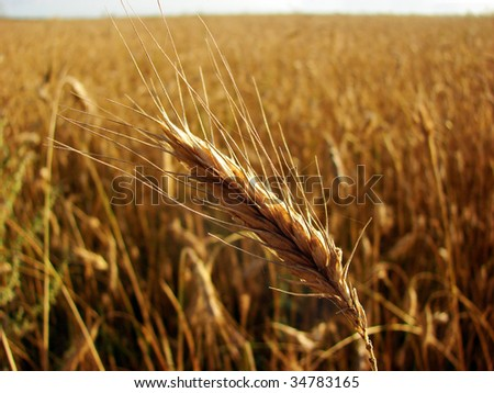 A ripe ear over the wheat field