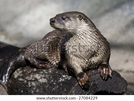 A River Otter sunning itself on a log. - stock photo
