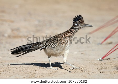A Roadrunner making its way through a campsite in the furnace creek area of Death Valley National Park - stock photo