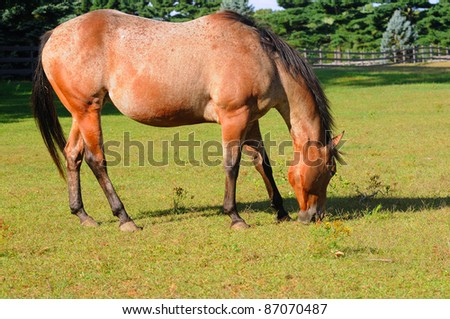 A roan horse grazes contentedly in a bright sunlit pasture - stock photo