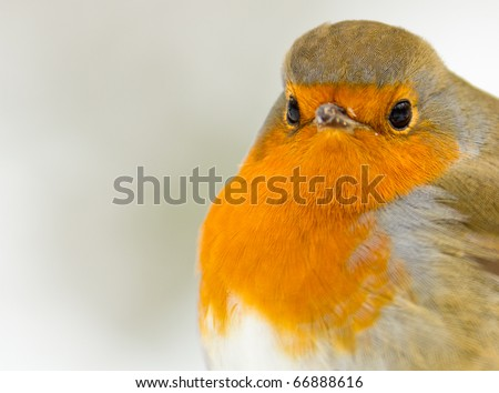 A Robin Close Up in the Snow - stock photo
