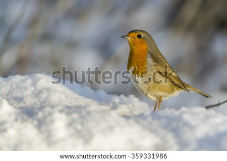 A robin redbreast (Erithacus rubicula) in the snow - stock photo