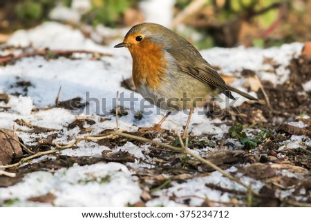 A robin redbreast is searching for fodder - stock photo