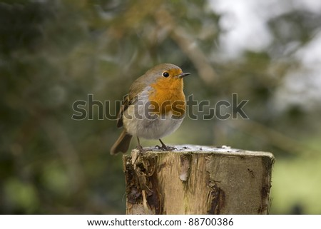 A Robin sat on a post against a natural background - stock photo