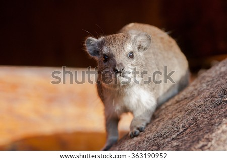 A Rock or Cape Hyrax (Procavia capensis) on a rock in the Serengeti National Park in Tanzania, Africa. These mammals are often mistaken for rodents, but are more closely related to elephants.  - stock photo