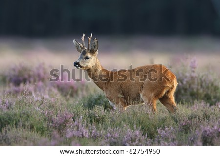 a roe deer in a field of header - stock photo