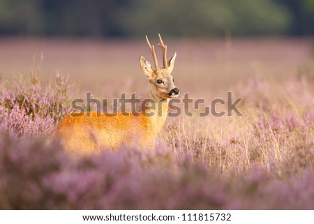 A roe deer in a field of heather - stock photo