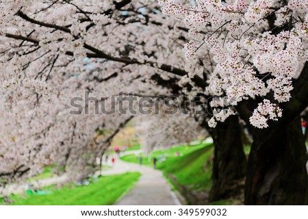 A romantic walkway under the archway of cherry tree blossoms ( Sakura Namiki ) ~ Beautiful scenery of Japan in sakura season (DOF version) - stock photo