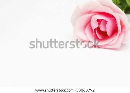 a rose flower on a white background - stock photo