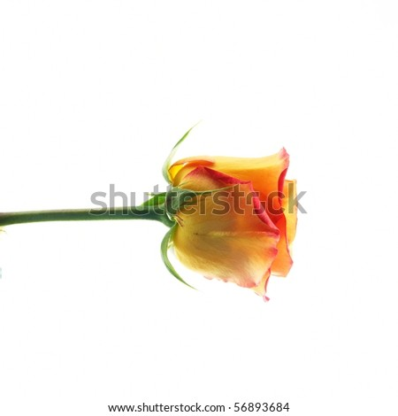 a rose isolated on white