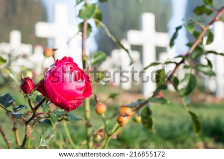 A rose with morning dew in the Douaumont Ossuary, near Verdun, France - stock photo