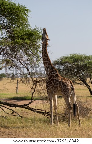 A Rothschild's giraffe stretching to full length to reach the upper leafs. Serengeti Tanzania. One of the most endangered giraffe subspecies. - stock photo