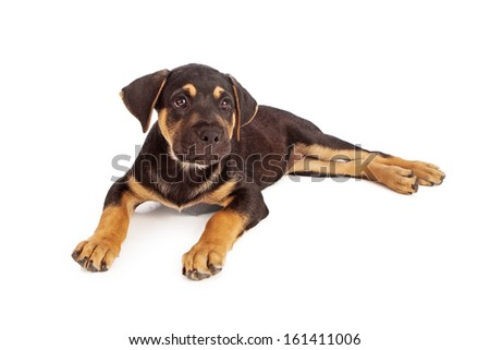 A Rottweiler mixed breed puppy laying down and isolated on white