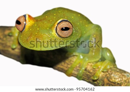 A Rough Skinned Green Glass Treefrog (Hypsiboas cinerascens) in the Peruvian Amazon Isolated on white with space for text - stock photo