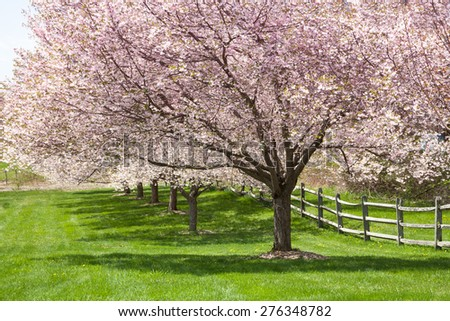 A row of cherry blossoms in full bloom. - stock photo
