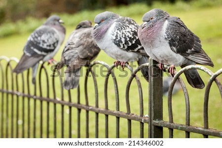 A row of cold London pigeons huddled on a park railing with their feathers puffed up to keep warm. - stock photo