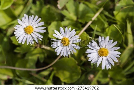 A row of Daisies - stock photo