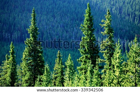 A row of evergreen trees form a line in the middle of a forest. - stock photo