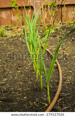 A row of garlic greens sprouts with drip irrigation line along  after rain - stock photo