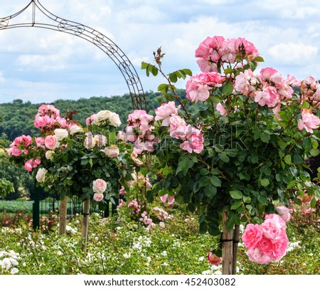 A row of pink Standard Roses in a garden - stock photo