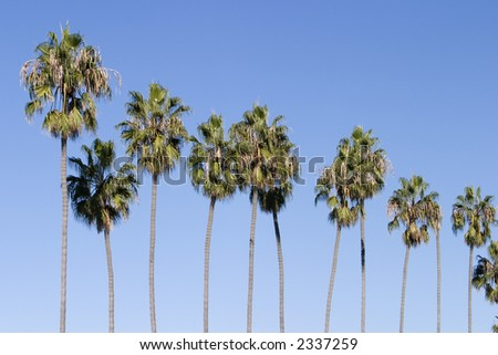 A row of several palm trees stretching into the air with solid blue sky behind. The slender trunks are lined up in a sort of pattern. - stock photo