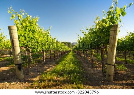 A Row of Wine Vineyard Grape Vines - stock photo
