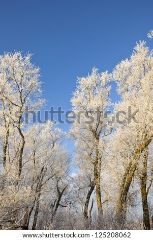 a row of winter willow trees covered in frost under a clear blue sky