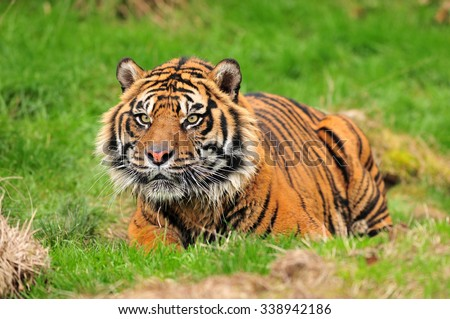 A royal bengal tiger in crouching posture concentrating on its prey - stock photo