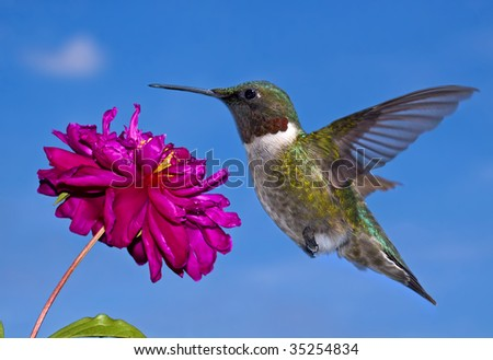 A ruby throated hummingbird in flight