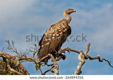A Ruppell's (Ruppells) Griffon Vulture (Gyps rueppellii) sitting and looking on a tall tree in Masai Mara reserve  - stock photo