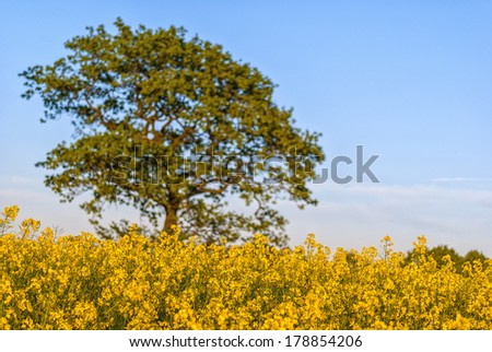 A rural countryside image of a rapeseed field in full bloom with single out of focus tree in the background. Selective focus used to highlite the foreground rapeseed flowers. - stock photo
