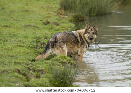 A sable German Shepherd Dog playing in a pond.  He is wearing a collar and tag and looking directly at the camera. His face is wet. - stock photo