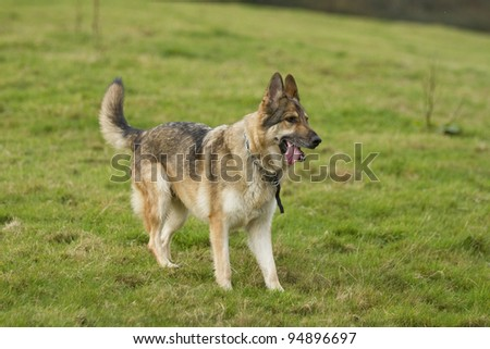 A sable German Shepherd Dog wearing a collar and tag.  He is stood posed looking forward with his ears and tail up and his tongue sticking out. - stock photo