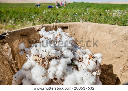 A sack holder with picked cotton during the harvest near Sanliurfa, Turkey. Turkey is the sixth largest producer of cotton in the world. - stock photo