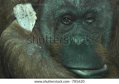 A sad orangutan holds on for dear life. - stock photo