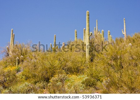 A saguaro cactus in an Arizona desert is surrounded by wildflowers and other plants. - stock photo