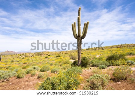 A sagurao cactus in an Arizona desert is surrounded by yellow wildflowers. - stock photo