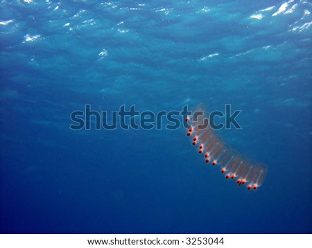 A salp drifting in the water - stock photo