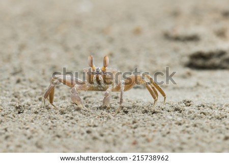 A sand-coloured crab straying away from its hole to feed - stock photo