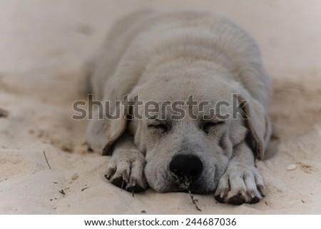 a sand-coloured dog on the beach - stock photo