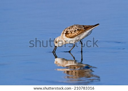 A sanderling bird, a type of sandpiper, forages in wet beach sand at North Carolina's Emerald Isle. - stock photo