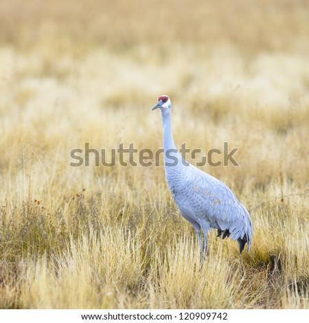 A Sandhill crane at Bosque del Apache national wildlife refuge in New Mexico. - stock photo